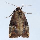 9678  Variegated Midget - Elaphria versicolor