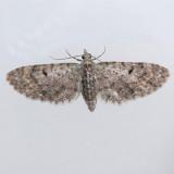 7474 Common Eupithecia - Eupithecia miserulata