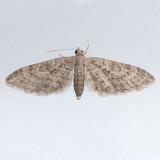 7543  Larch Pug - Eupithecia annulata