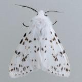 8140 Fall Webworm - Hyphantria cunea