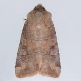 10501  Norman's Quaker - Crocigrapha normani