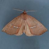 8527  Large Necklace - Hypsoropha monilis