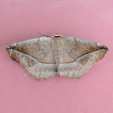 6966 Curved-toothed Geometer - Eutrapela clemataria