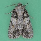 9250 Unclear Dagger - Acronicta inclara