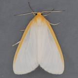 8230  Delicate Cycnia - Cycnia tenera