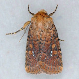 9689 Red Groundling - Perigea xanthioides