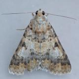 8613  Forsebia Moth - Forsebia perlaeta