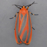 8089 Scarlet-winged Lichen - Hypoprepia miniata