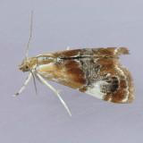 4889 Julia's Dicymolomia - Dicymolomia julianalis
