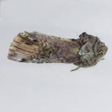 8007 Unicorn Caterpillar - Schizura unicornis