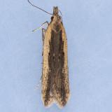 2281  Palmerworm Moth - Dichomeris ligulella