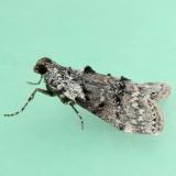 5606 Maple Webworm - Pococera asperatella
