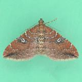 7414  The Gem - male - Orthonama obstipata
