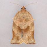 3658 Omnivorous Leafroller - Archips purpurana