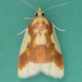 3701 Sparganothis Moth - Sparganothis pulcherrimana