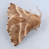 7701 Eastern Tent Caterpillar - Mallacosoma americanum