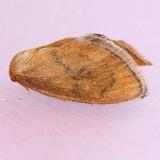 4657 Red-eyed Button Slug - Heterogenea shurtleffi