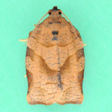 3635 Oblique-banded Leafroller - Choristoneura rosaceana