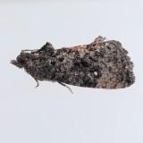 3495 Dotted Ecdytolopha -  Ecdytolopha punctidiscana