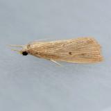 5499  X-linear Grass-veneer  - Xubida linearella