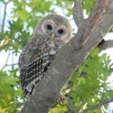 Barred Owl Fledgling 3