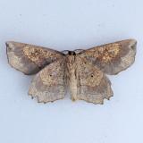 6726 Obtuse Euchlaena - Euchlaena obtusaria (underside)
