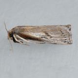5435 Changeable Grass-veneer - Fissicrambus mutabilis