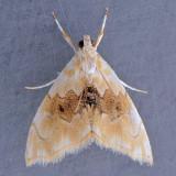4881 Lipocosma Moth - Lipocosma sicalis