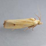 3099  Eucosma bipunctella