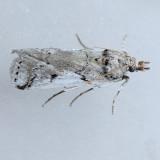 5970 Eastern Cactus-boring Moth - Melitara prodenialis