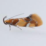 1046 Orange-headed Epicallima - Epicallima argenticinctella