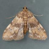 4755 Waterlily Leafcutter - Elophila obliteralis