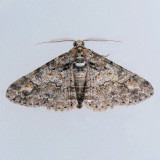 6594 Double-Lined Gray - Cleora sublunaria