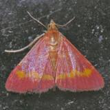 5053 Pyrausta pseuderosnealis