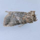 8881 Spectacled Nettle Moth - Abrostola urentis