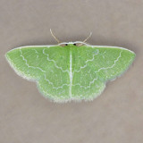 7059 Southern Emerald - Synchlora frondaria