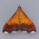 5040 Bicolored Pyrausta - Pyrausta bicoloralis