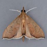 4991 Sericoplaga Moth - Sericoplaga externalis