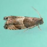3228  Gypsonoma salicicolana