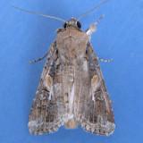 9666 Fall Armyworm male - Spodoptera frugiperda