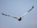 Wood Stork Flying at You