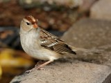 White-crowned Sparrow - Immature