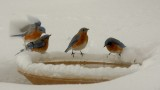 Bluebirds in the Snow