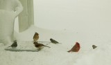 Cardinals and Juncos