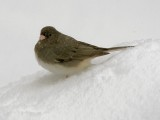 Snowbird in the Snow
