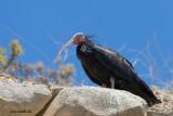 Ibis-eremita