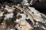 Apathya cappadocica