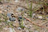 Acanthodactylus schreiberi .