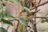 Cannaiola (Acrocephalus scirpaceus)