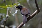 Western Parotia female (bird of Paradise)